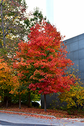 Fall Fiesta Sugar Maple (Acer saccharum 'Bailsta') at The Mustard Seed