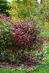 Winterthur Viburnum (Viburnum nudum 'Winterthur') at The Mustard Seed