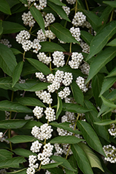 White Beautyberry (Callicarpa dichotoma 'f. albifructa') at Flagg's Garden Center
