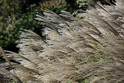 Gracillimus Maiden Grass (Miscanthus sinensis 'Gracillimus') at The Mustard Seed