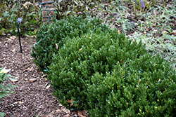Buddy Boxwood (Buxus 'Buddy') at A Very Successful Garden Center