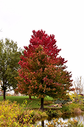 Red Sunset Red Maple (Acer rubrum 'Red Sunset') at The Mustard Seed