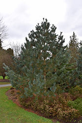 Limber Northern Blue (Pinus flexilis) at Bachman's Landscaping