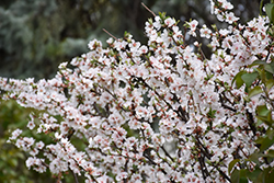 Nanking Cherry (Prunus tomentosa) at Green Haven Garden Centre