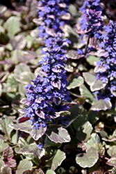 Burgundy Glow Bugleweed (Ajuga reptans 'Burgundy Glow') at Bartlett's Farm