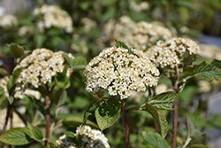 Mohican Viburnum (Viburnum lantana 'Mohican') at Arrowhead Nurseries Ltd.
