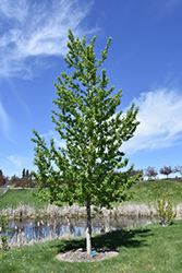 Assiniboine Poplar (Populus 'Assiniboine') at Arrowhead Nurseries Ltd.