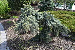 Colorado Weeping Blue Spruce (Picea pungens 'Pendula') at Bachman's Landscaping