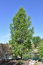 Siberian Larch (Larix sibirica) at Arrowhead Nurseries Ltd.