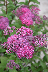 Superstar™ Spirea (Spiraea x bumalda 'Denistar') at Dundee Nursery