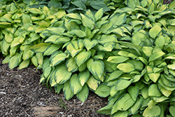 Paul's Glory Hosta (Hosta 'Paul's Glory') at Bartlett's Farm