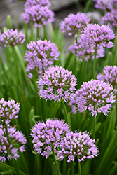 Summer Beauty Allium (Allium tanguticum 'Summer Beauty') at Bachman's Landscaping