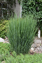 Northwind Switch Grass (Panicum virgatum 'Northwind') at Bartlett's Farm