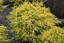 Golden Charm Falsecypress (Chamaecyparis pisifera 'Golden Charm') at The Mustard Seed