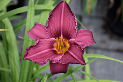 Summer Wine Daylily (Hemerocallis 'Summer Wine') at Arrowhead Nurseries Ltd.