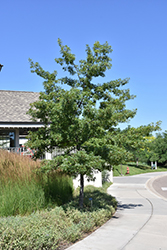 Majestic Skies™ Northern Pin Oak (Quercus ellipsoidalis 'Bailskies') at The Mustard Seed