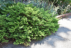 Buffalo Juniper (Juniperus sabina 'Buffalo') at Bachman's Landscaping