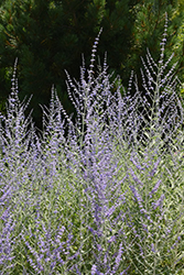 Filigran Russian Sage (Perovskia 'Filigran') at The Mustard Seed