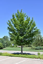 State Street Miyabe Maple (Acer miyabei 'Morton') at Bachman's Landscaping