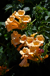 Yellow Trumpetvine (Campsis radicans 'Flava') at The Mustard Seed