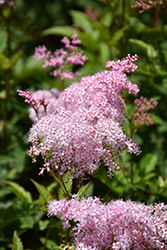 Queen Of The Prairie (Filipendula rubra) at Bartlett's Farm