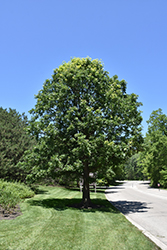 Bur Oak (Quercus macrocarpa) at The Mustard Seed