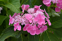 Let's Dance® Starlight Hydrangea (Hydrangea macrophylla 'Lynn') at Bartlett's Farm