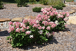 Little Quick Fire® Hydrangea (Hydrangea paniculata 'SMHPLQF') at The Mustard Seed