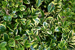 Wedding Ring® Boxwood (Buxus microphylla 'Eseles') at Bartlett's Farm
