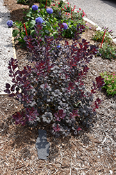 Winecraft Black® Smokebush (Cotinus coggygria 'NCCO1') at Dundee Nursery