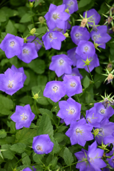 Blue Clips Bellflower (Campanula carpatica 'Blue Clips') at Flagg's Garden Center