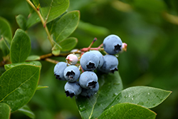 Northcountry Blueberry (Vaccinium 'Northcountry') at The Mustard Seed