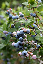 Blue Jay Blueberry (Vaccinium corymbosum 'Blue Jay') at Bartlett's Farm