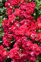 Red Drift® Rose (Rosa 'Meigalpio') at The Mustard Seed