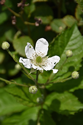 Baby Cakes™ Blackberry (Rubus 'APF-236T') at Bartlett's Farm