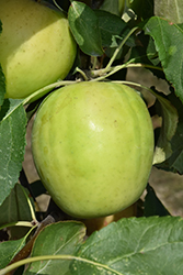 Norkent Apple (Malus 'Norkent') at Arrowhead Nurseries Ltd.