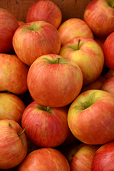 Honeycrisp Apple (Malus 'Honeycrisp') at Flagg's Garden Center
