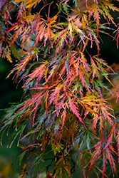 Cutleaf Japanese Maple (Acer palmatum 'Dissectum') at Flagg's Garden Center