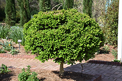 Common Boxwood (tree form) (Buxus sempervirens '(tree form)') at A Very Successful Garden Center