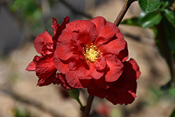 Double Take Scarlet™ Flowering Quince (Chaenomeles speciosa 'Double Take Scarlet Storm') at Bartlett's Farm