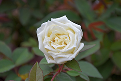 Ducher Rose (Rosa 'Ducher') at Bartlett's Farm
