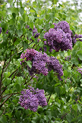 Albert F. Holden Lilac (Syringa vulgaris 'Albert F. Holden') at Dundee Nursery