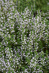 Doone Valley Thyme (Thymus 'Doone Valley') at Bachman's Landscaping