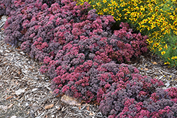 Dazzleberry Stonecrop (Sedum 'Dazzleberry') at The Mustard Seed