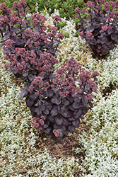 Night Embers Stonecrop (Sedum 'Night Embers') at Bachman's Landscaping