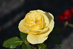 High Voltage Rose (Rosa 'BAIage') at The Mustard Seed