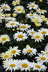 Banana Cream Shasta Daisy (Leucanthemum x superbum 'Banana Cream') at The Mustard Seed