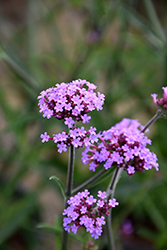 Lollipop Verbena (Verbena bonariensis 'Lollipop') at Flagg's Garden Center