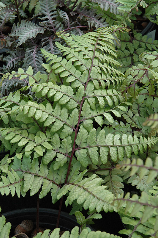 Eared Lady Fern (Athyrium otophorum) at Flagg's Garden Center