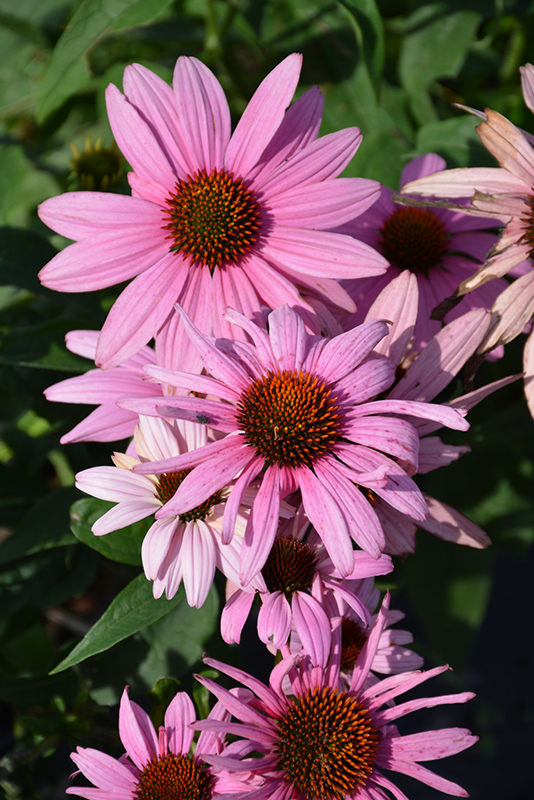 Prairie Splendor Coneflower (Echinacea purpurea 'Prairie Splendor') at Flagg's Garden Center